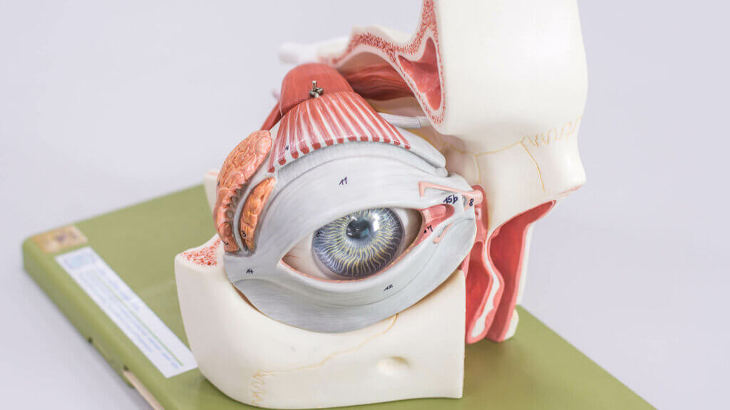 Anatomischer Aufbau der Augen